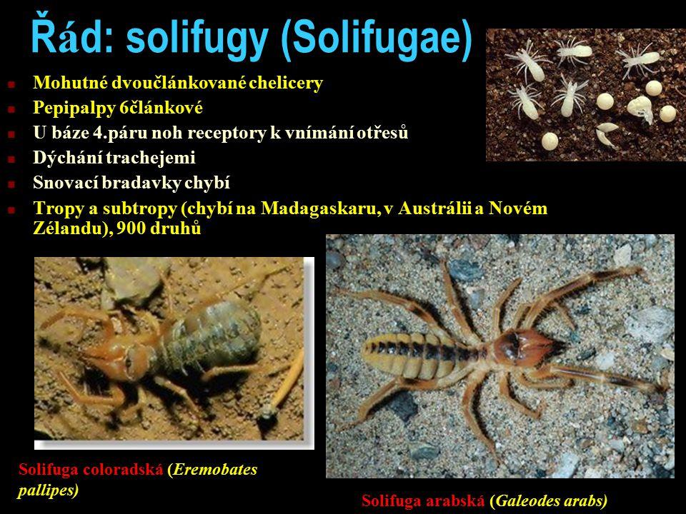 Řád: solifugy (Solifugae)