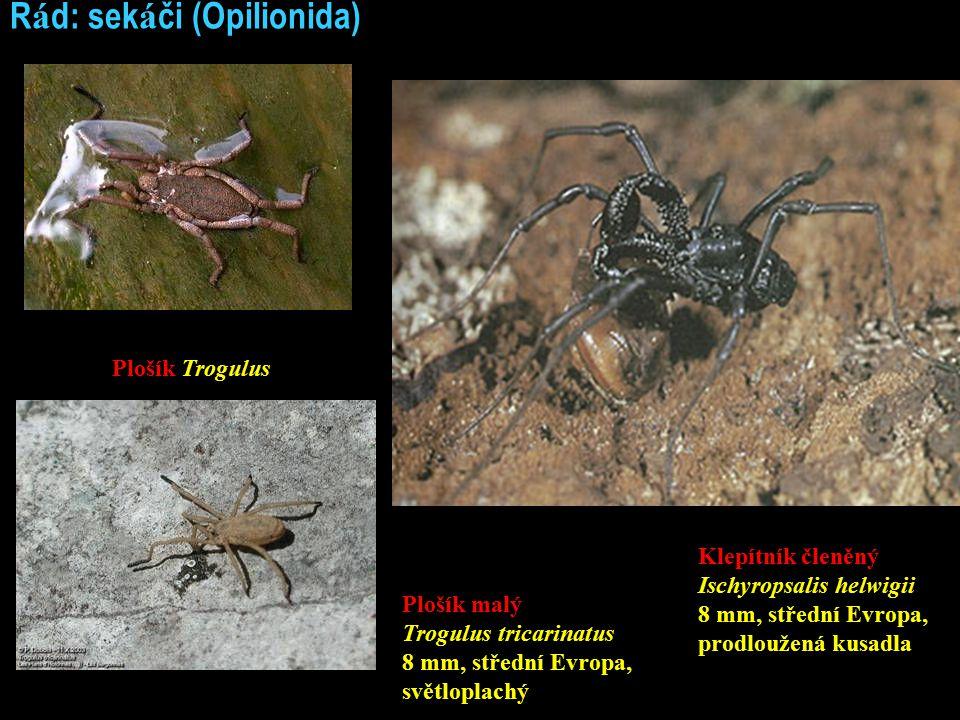 Řád: sekáči (Opilionida)
