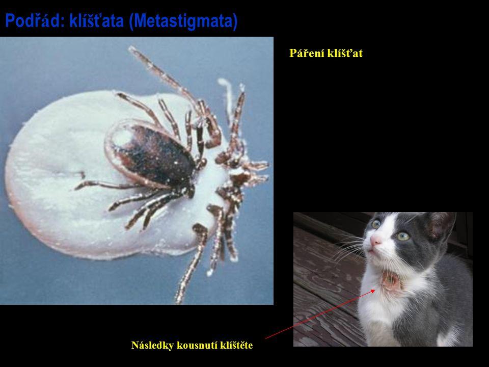 Podřád: klíšťata (Metastigmata)