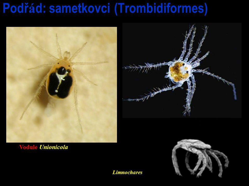 Podřád: sametkovci (Trombidiformes)