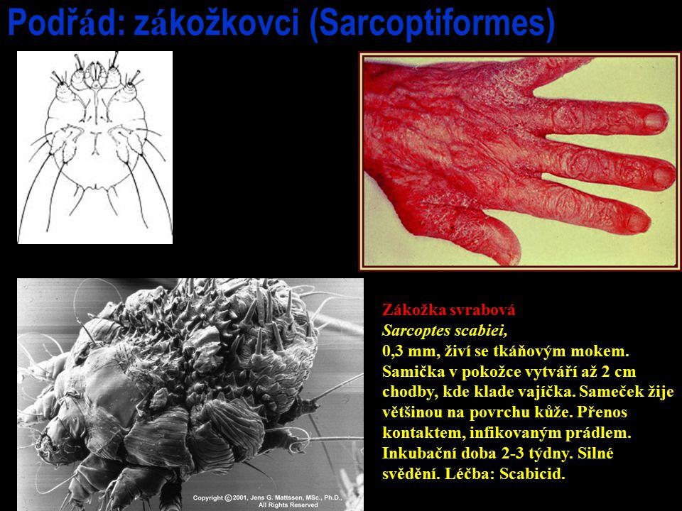Podřád: zákožkovci (Sarcoptiformes)