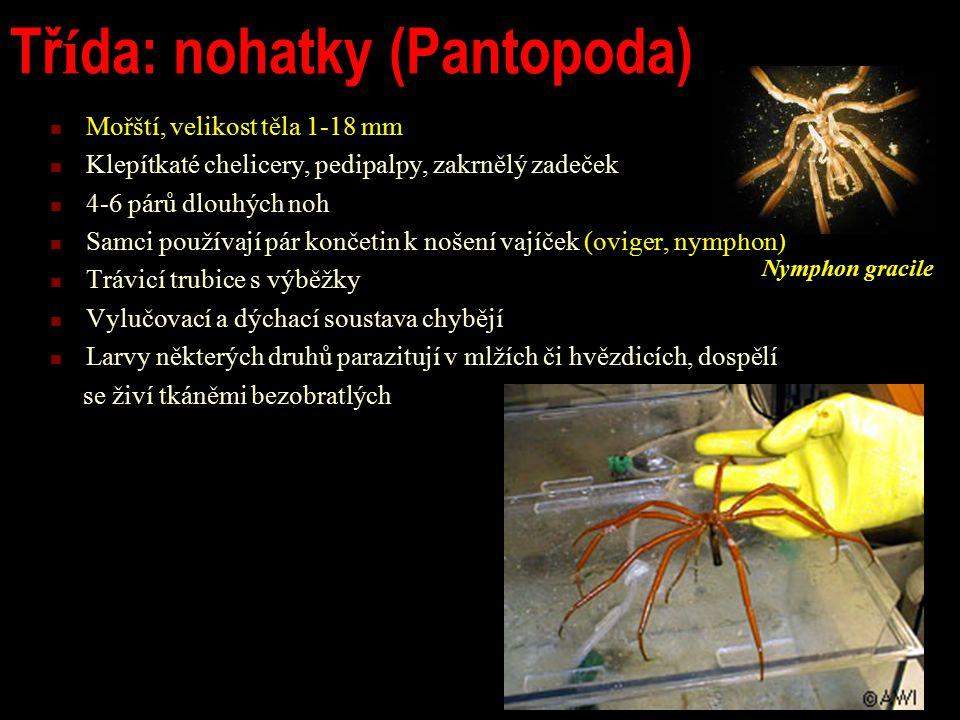 Třída: nohatky (Pantopoda)