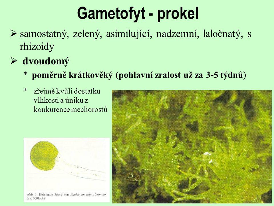 Gametofyt - prokel samostatný, zelený, asimilující, nadzemní, laločnatý, s rhizoidy. dvoudomý.