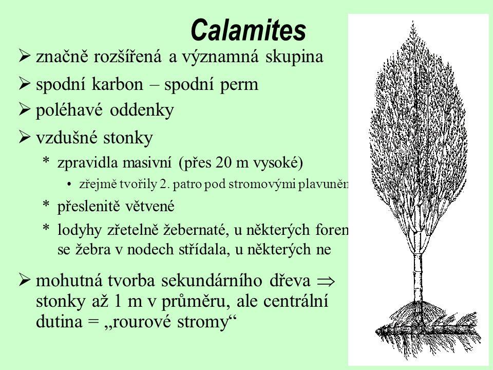 Calamites značně rozšířená a významná skupina