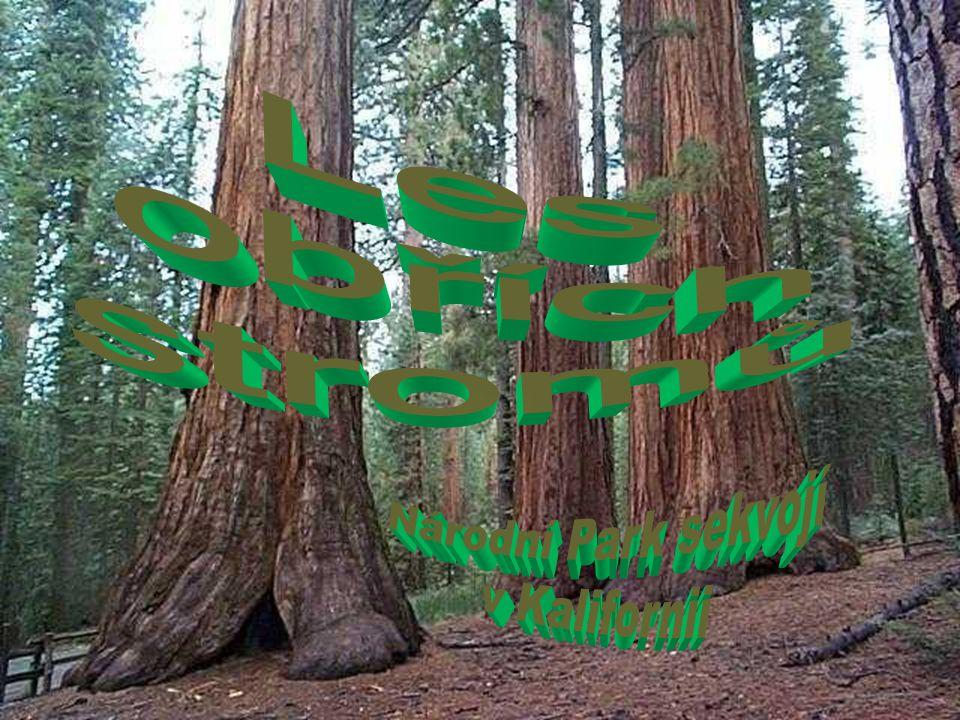 Les obřích stromů Národní Park sekvojí v Kalifornii