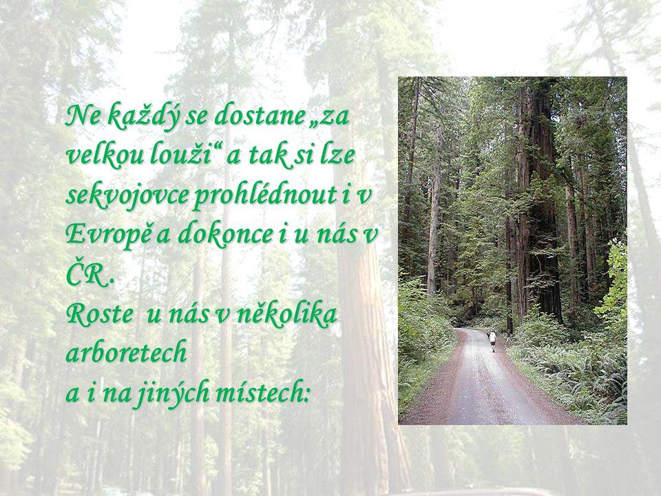 """Ne každý se dostane """"za velkou louži a tak si lze sekvojovce prohlédnout i v Evropě a dokonce i u nás v ČR ."""