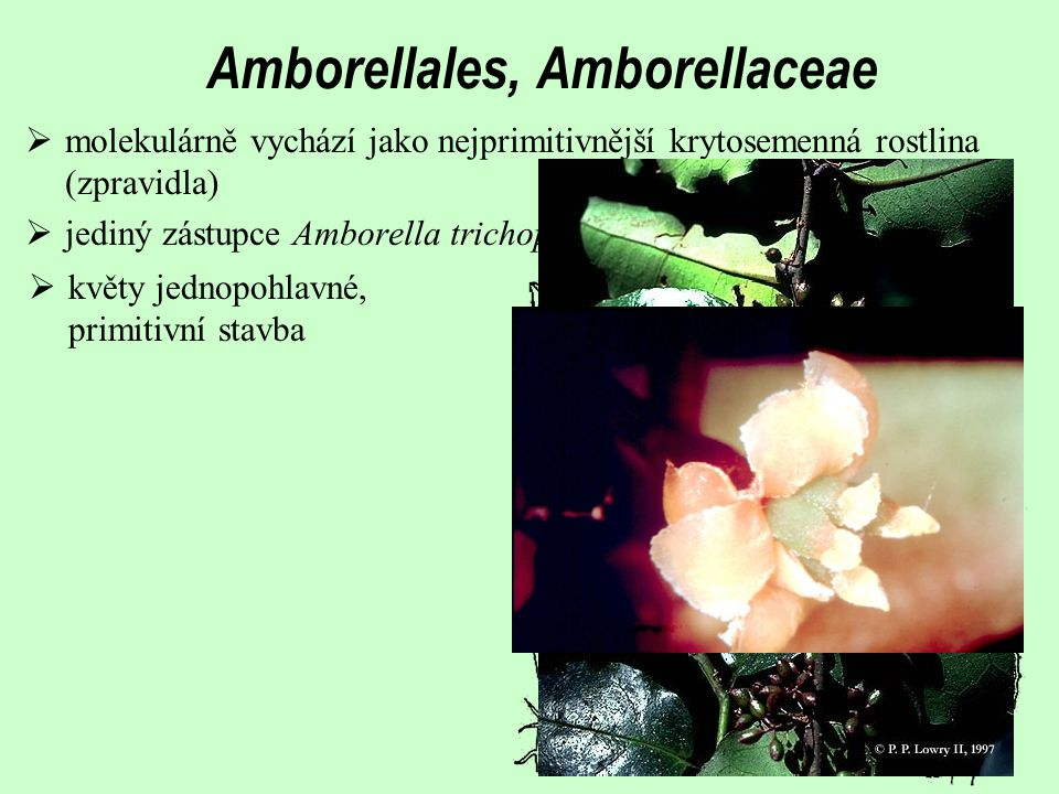 Amborellales, Amborellaceae