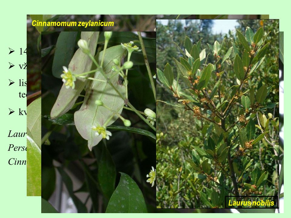 Laurales, Lauraceae 14/3000; drtivou většinou tropická skupina