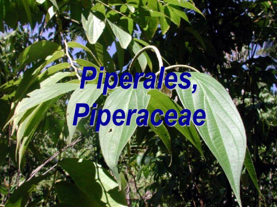 Piperales, Piperaceae