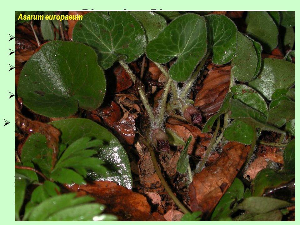Piperales, Piperaceae 8/3000; pantropická skupina