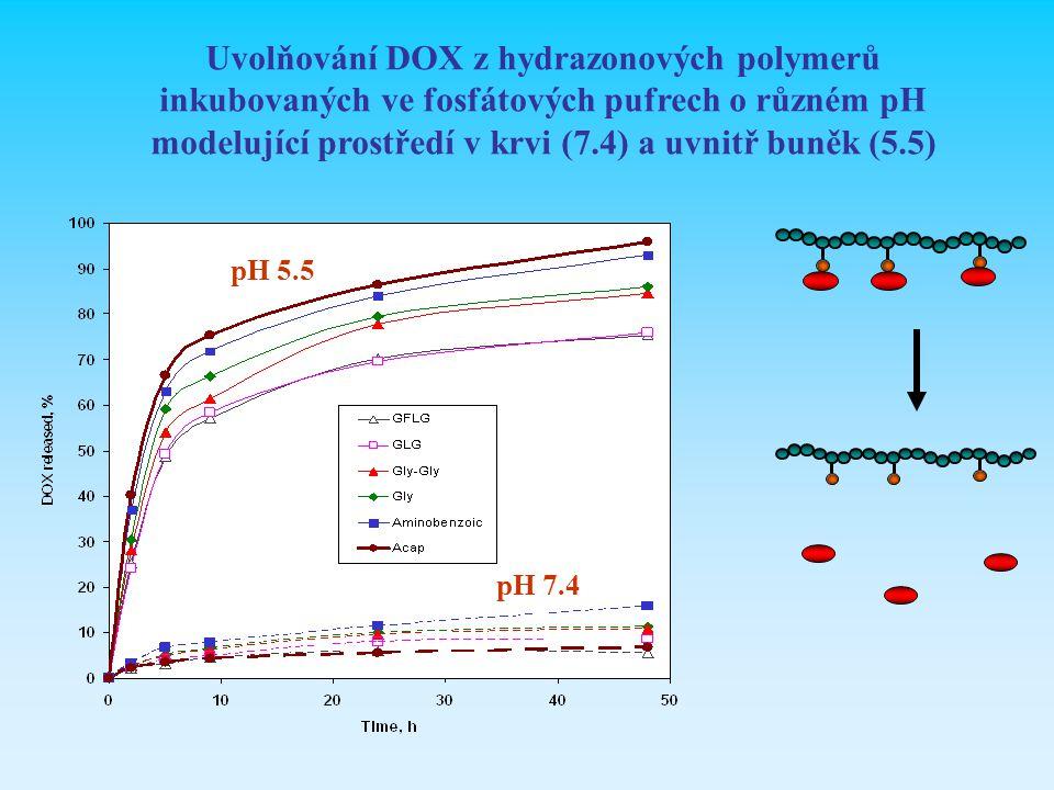 Uvolňování DOX z hydrazonových polymerů inkubovaných ve fosfátových pufrech o různém pH modelující prostředí v krvi (7.4) a uvnitř buněk (5.5)