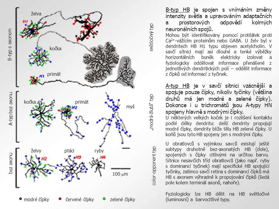 želvy ptáci ryby kočka. primát. B-typ s axonem. A-typ bez axonu. bez axonu.