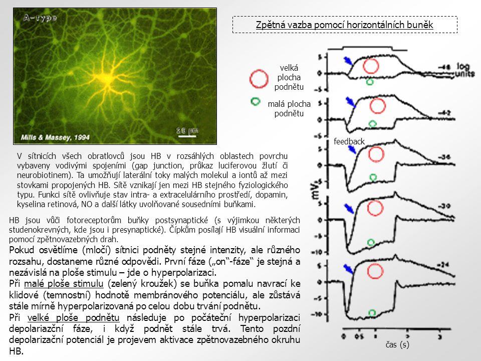 Zpětná vazba pomocí horizontálních buněk