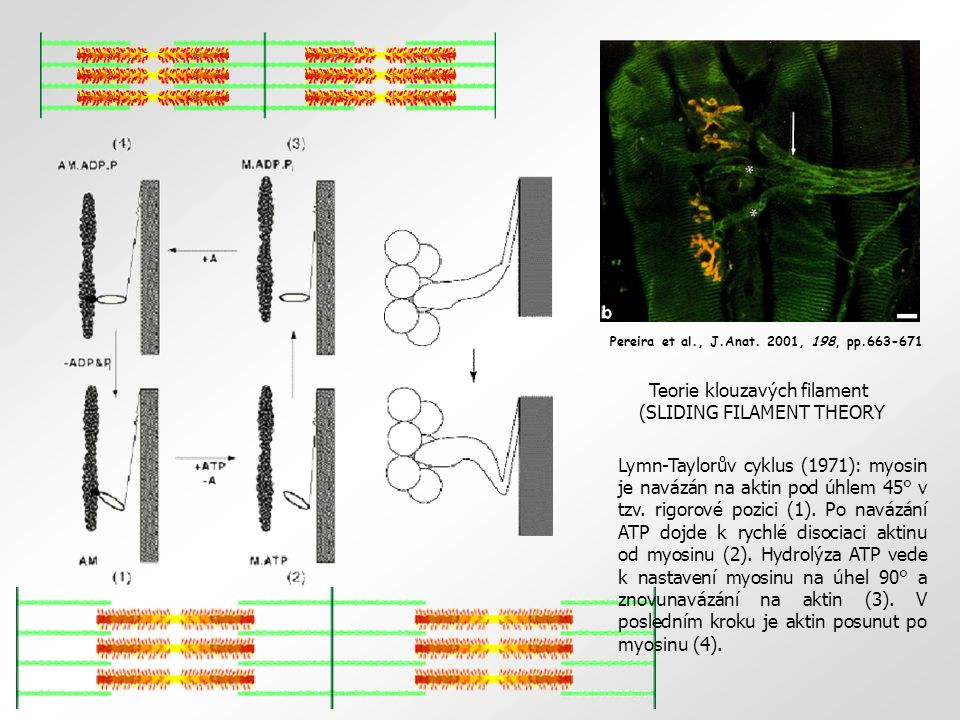 Teorie klouzavých filament (SLIDING FILAMENT THEORY