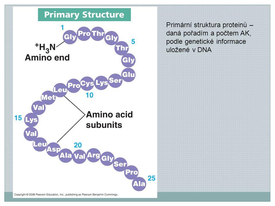 Primární struktura proteinů – daná pořadím a počtem AK, podle genetické informace uložené v DNA
