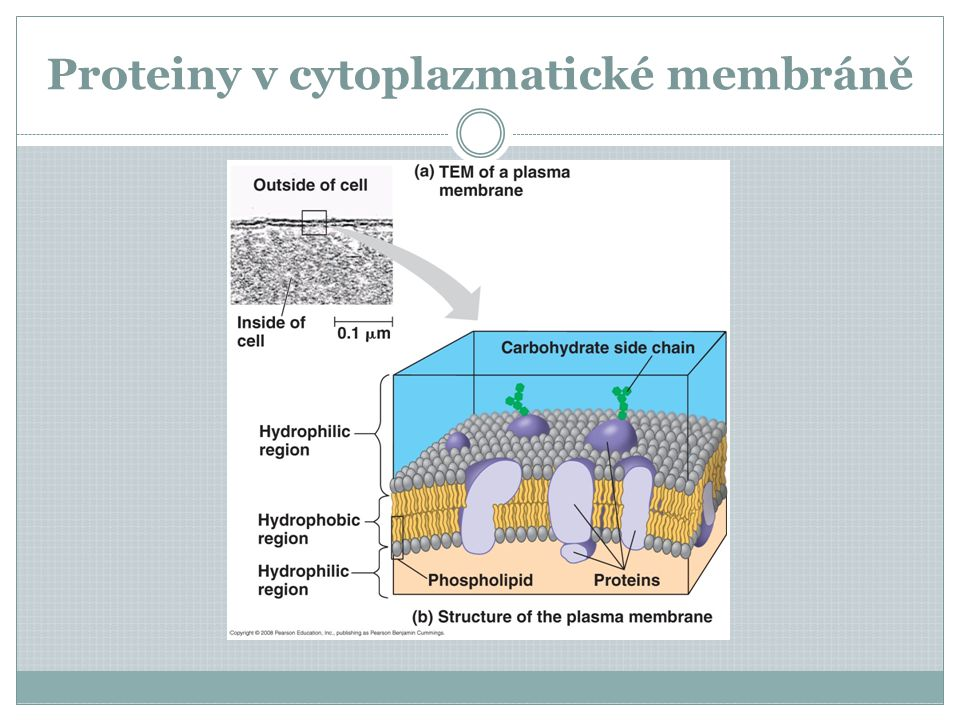 Proteiny v cytoplazmatické membráně