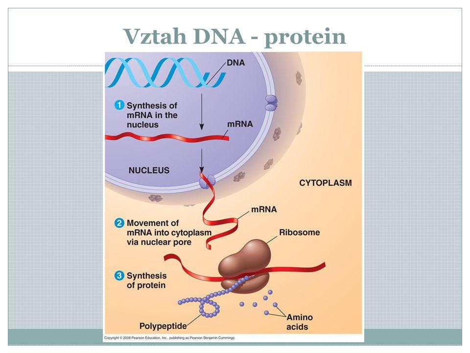 Vztah DNA - protein