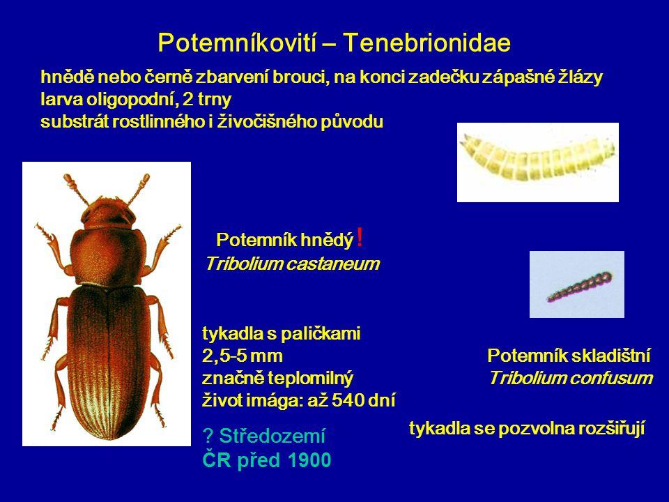 Potemníkovití – Tenebrionidae