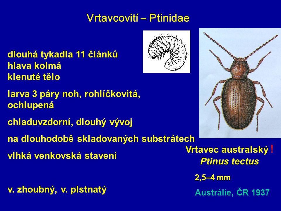 Vrtavcovití – Ptinidae
