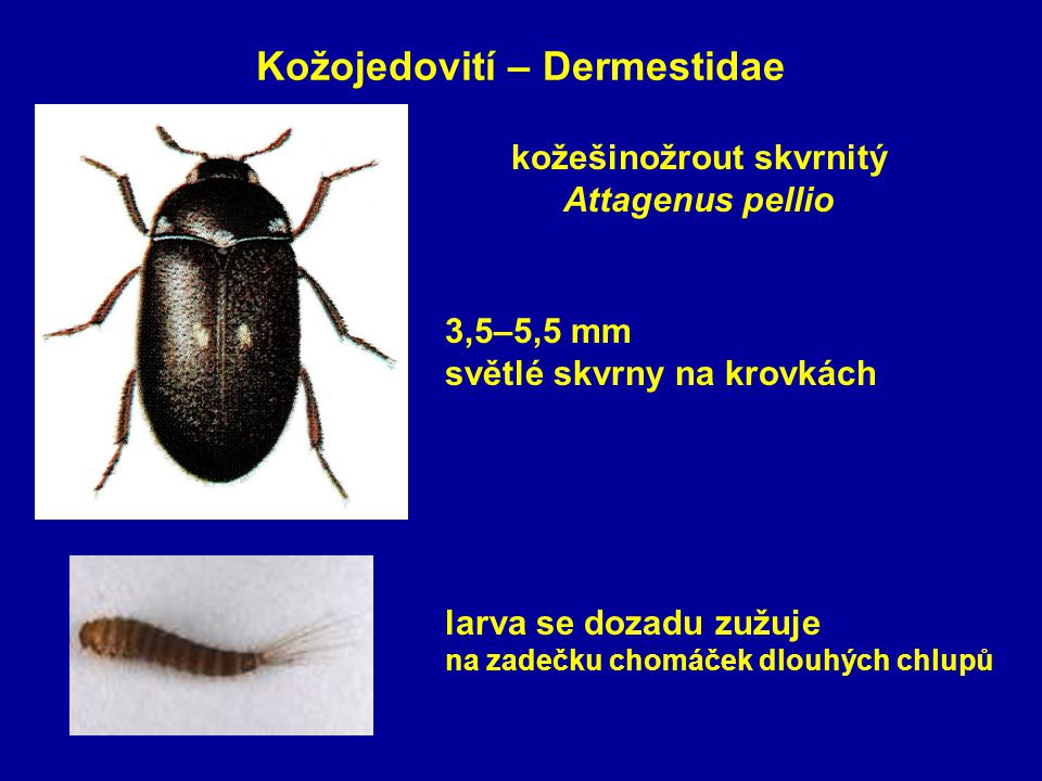 Kožojedovití – Dermestidae