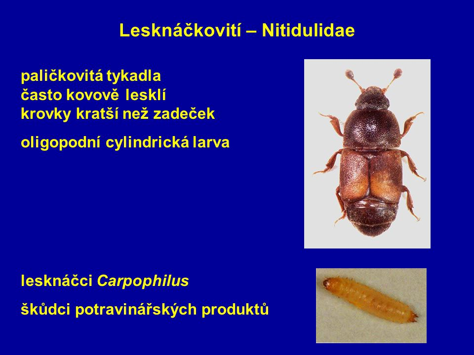 Lesknáčkovití – Nitidulidae