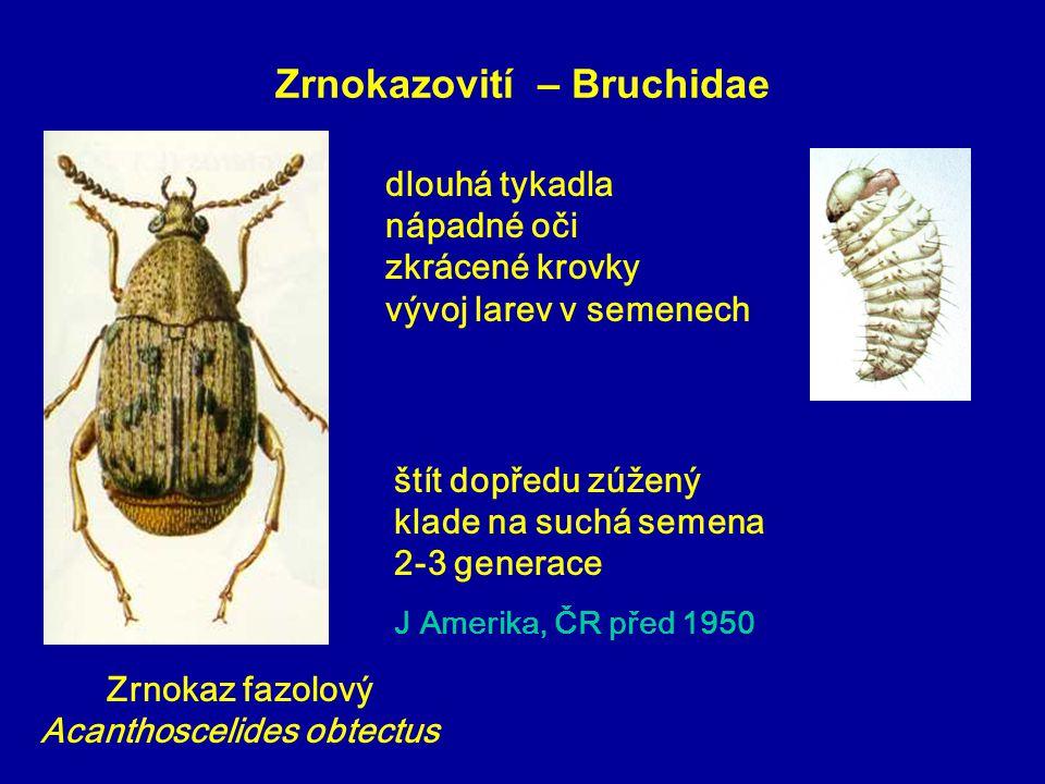 Zrnokazovití – Bruchidae