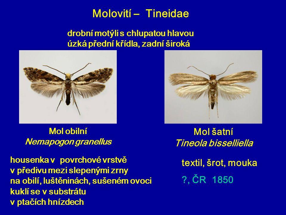 Mol obilní Nemapogon granellus Mol šatní Tineola bisselliella