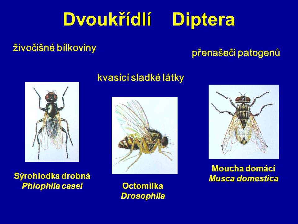 Moucha domácí Musca domestica Sýrohlodka drobná Phiophila casei