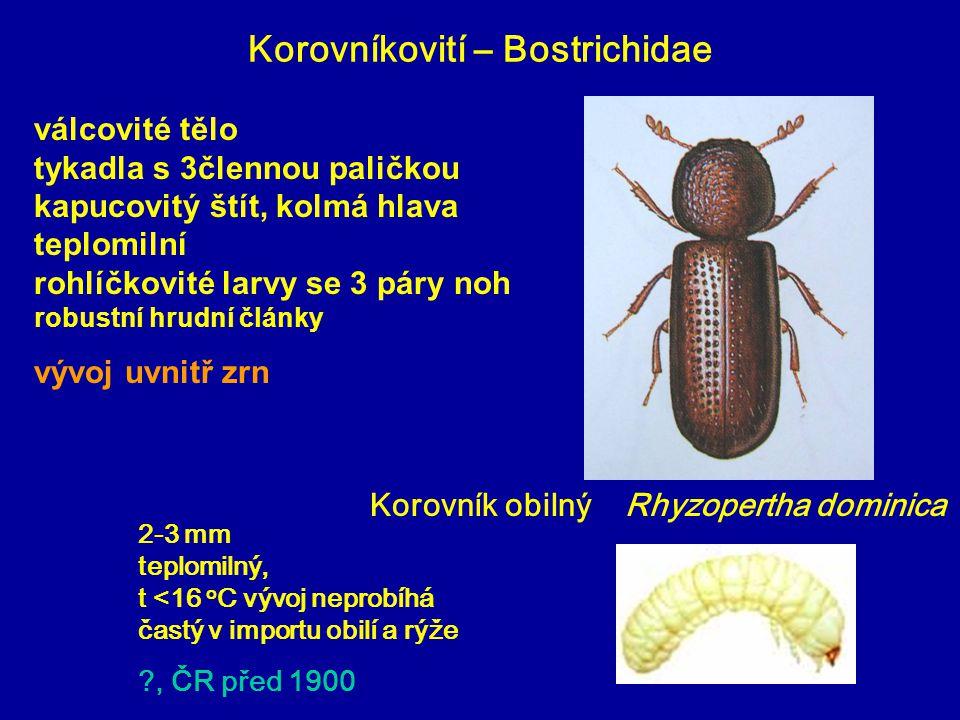 Korovníkovití – Bostrichidae