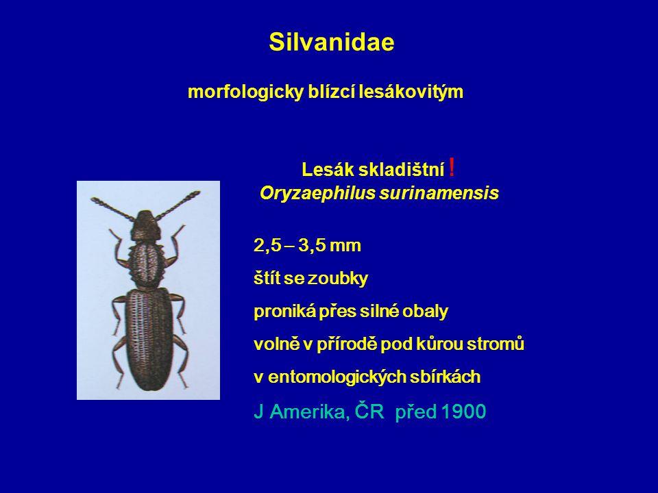 Lesák skladištní ! Oryzaephilus surinamensis