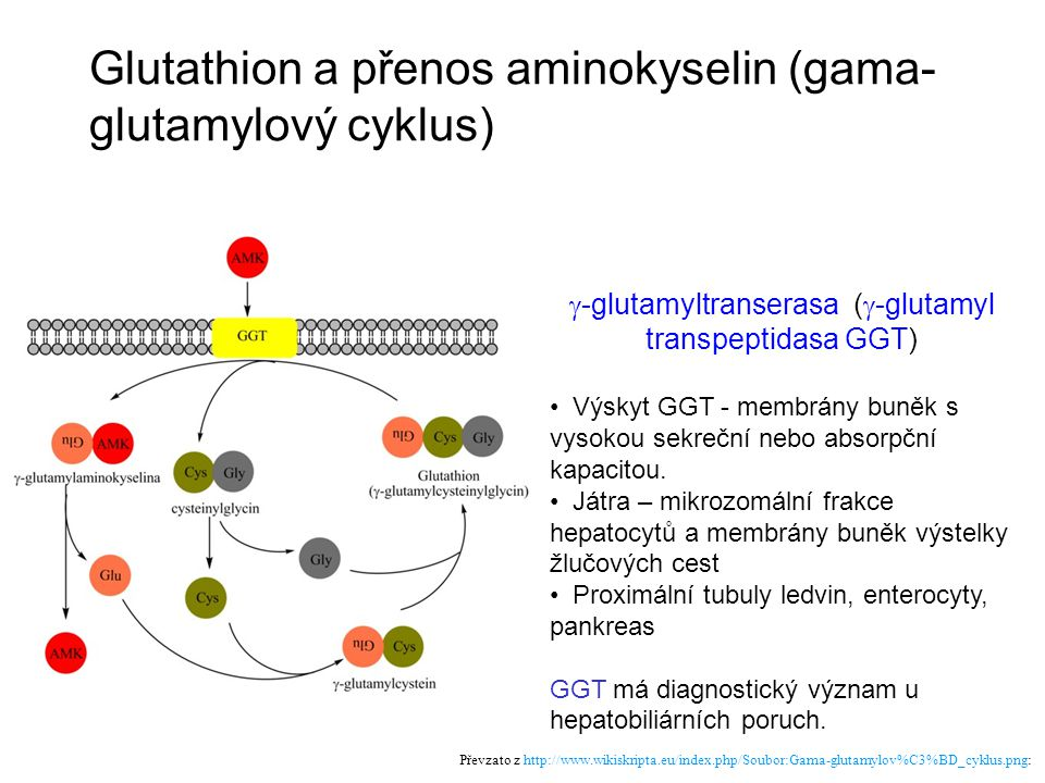 Glutathion a přenos aminokyselin (gama-glutamylový cyklus)