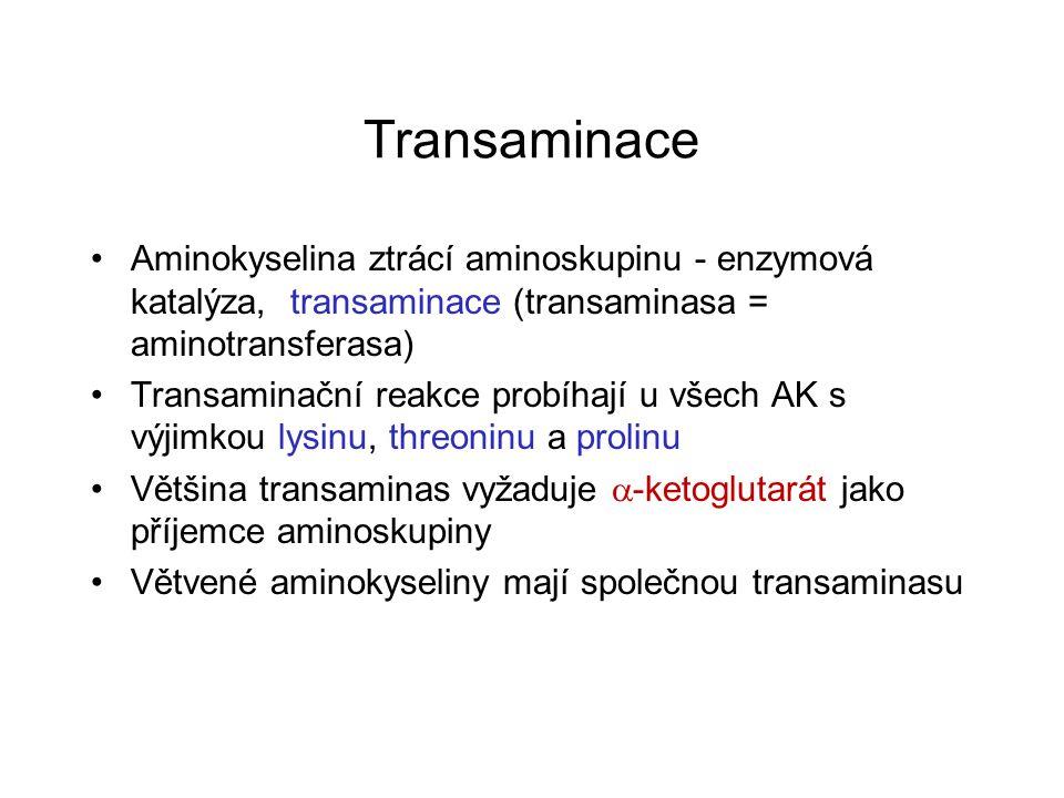 Transaminace Aminokyselina ztrácí aminoskupinu - enzymová katalýza, transaminace (transaminasa = aminotransferasa)