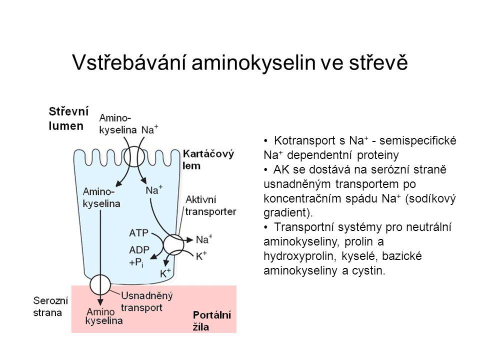 Vstřebávání aminokyselin ve střevě