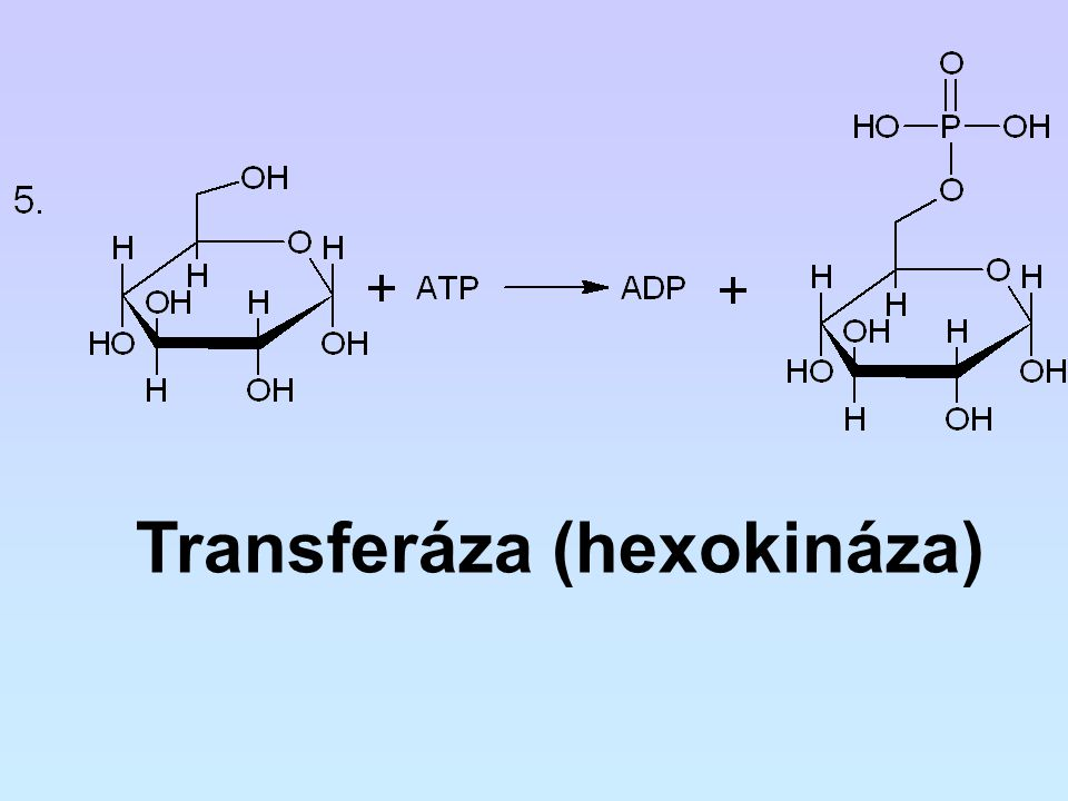 Transferáza (hexokináza)
