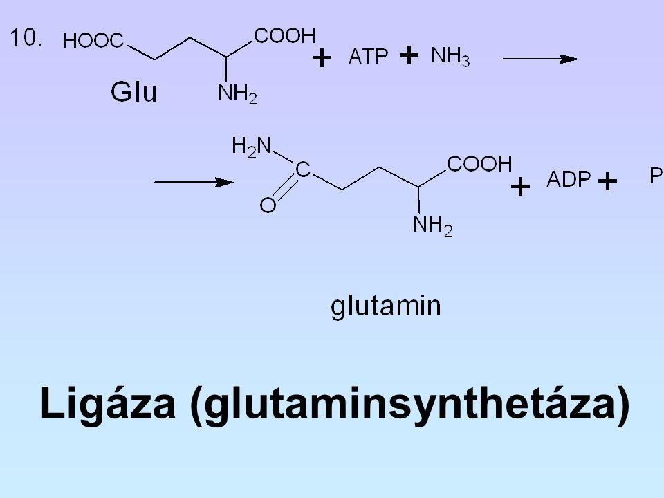 Ligáza (glutaminsynthetáza)