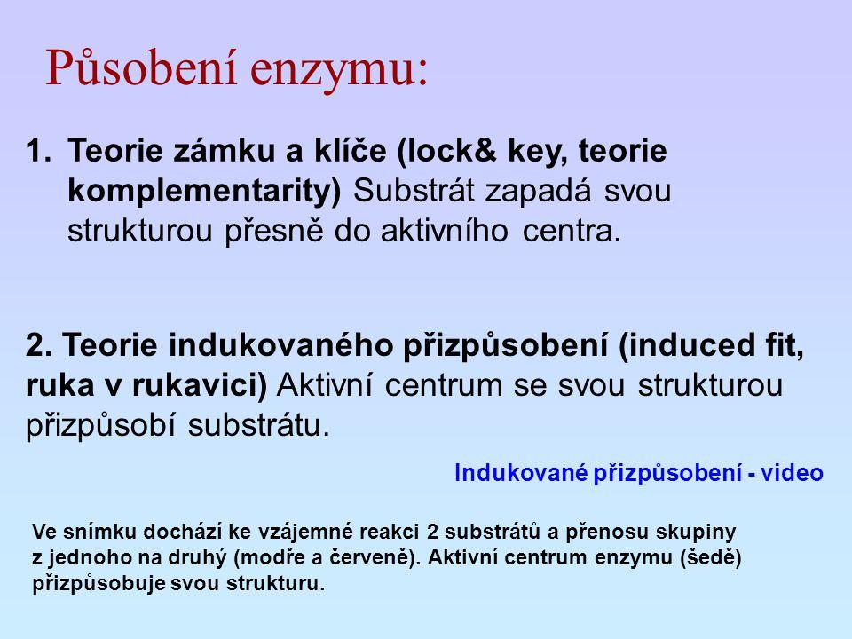 Působení enzymu: Teorie zámku a klíče (lock& key, teorie komplementarity) Substrát zapadá svou strukturou přesně do aktivního centra.