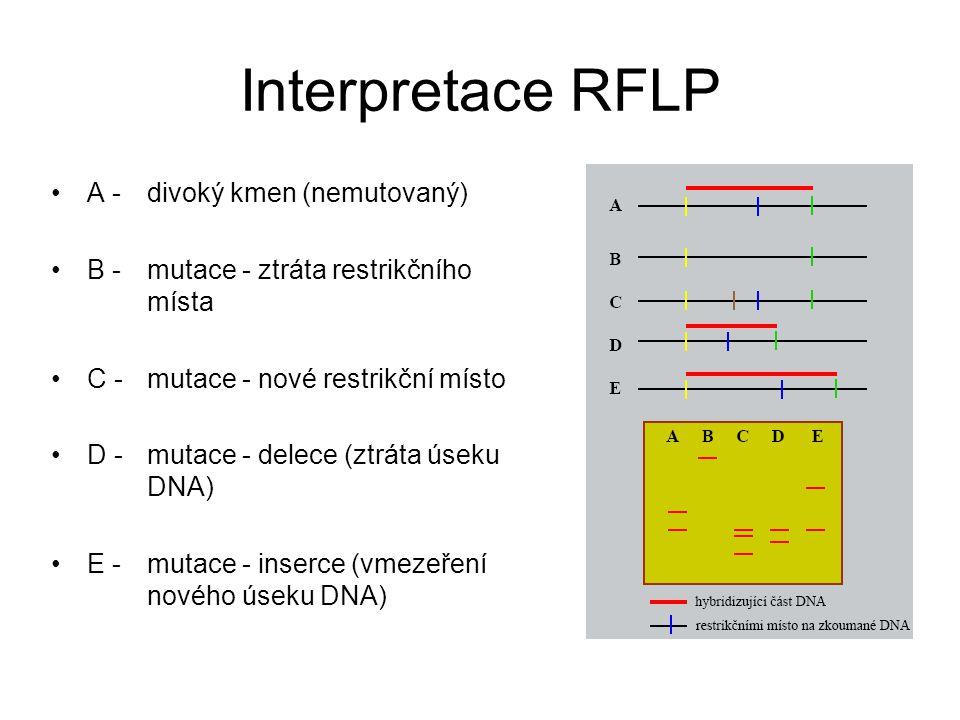 Interpretace RFLP A - divoký kmen (nemutovaný)