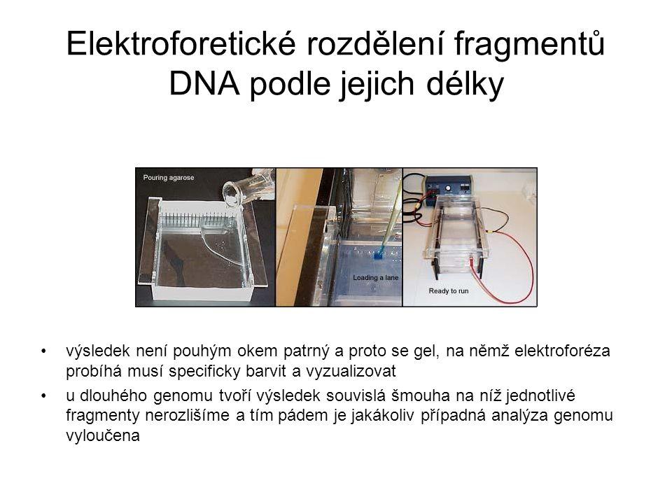 Elektroforetické rozdělení fragmentů DNA podle jejich délky