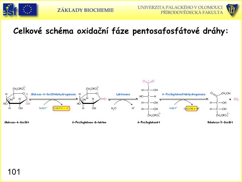 Celkové schéma oxidační fáze pentosafosfátové dráhy:
