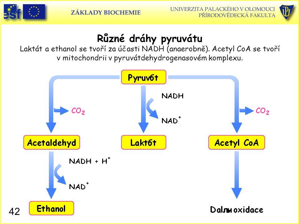 Různé dráhy pyruvátu Laktát a ethanol se tvoří za účasti NADH (anaerobně). Acetyl CoA se tvoří v mitochondrii v pyruvátdehydrogenasovém komplexu.