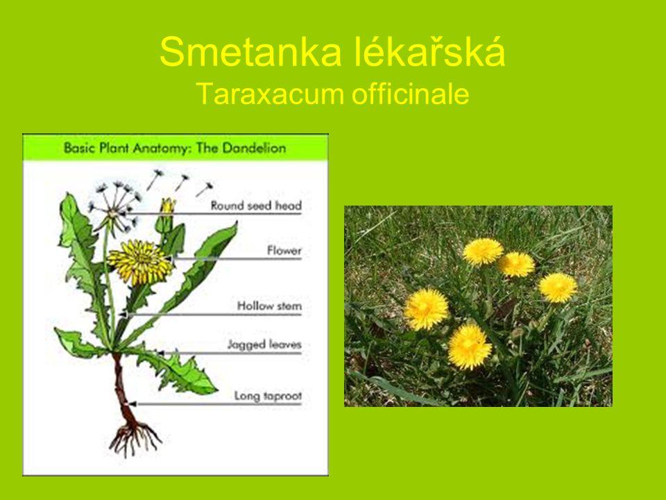 Smetanka lékařská Taraxacum officinale