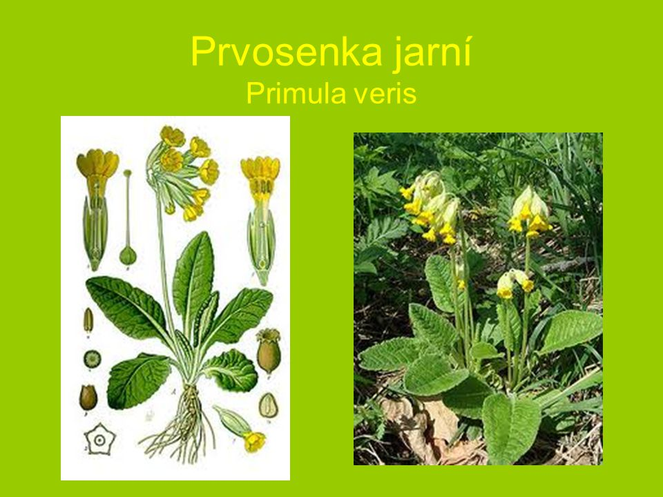 Prvosenka jarní Primula veris
