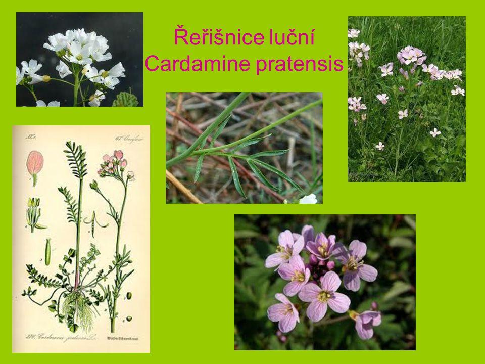 Řeřišnice luční Cardamine pratensis