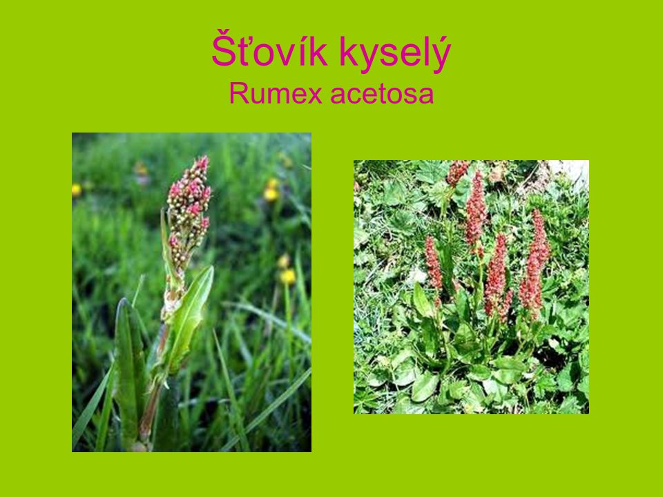 Šťovík kyselý Rumex acetosa