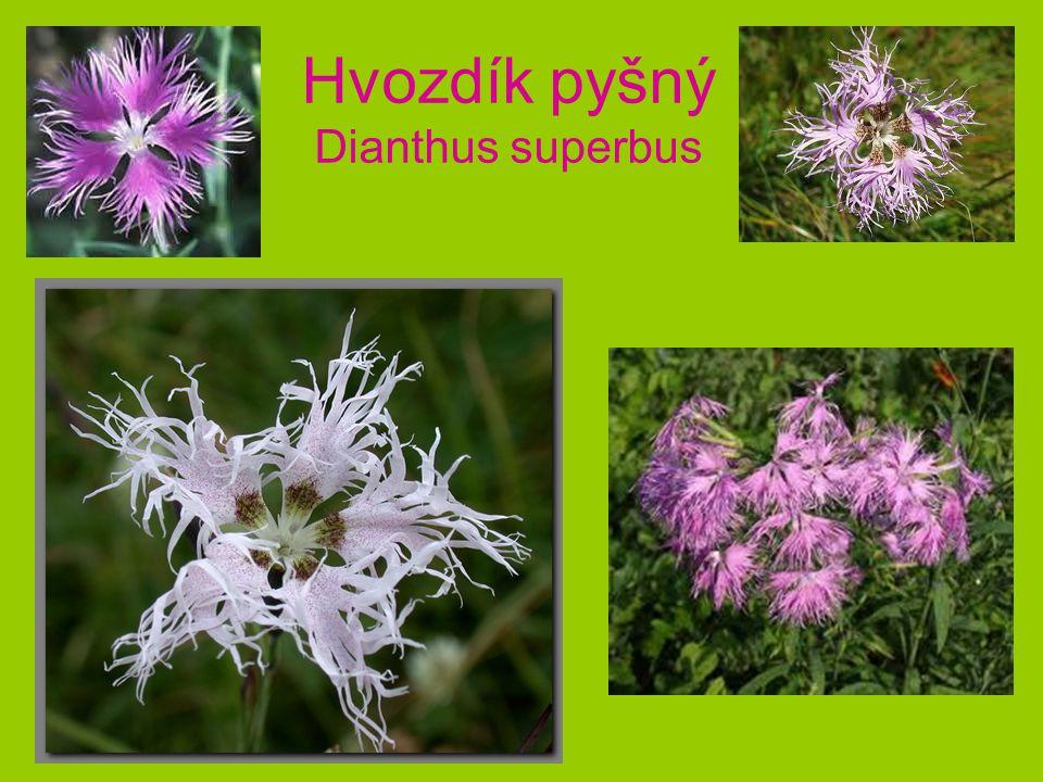 Hvozdík pyšný Dianthus superbus