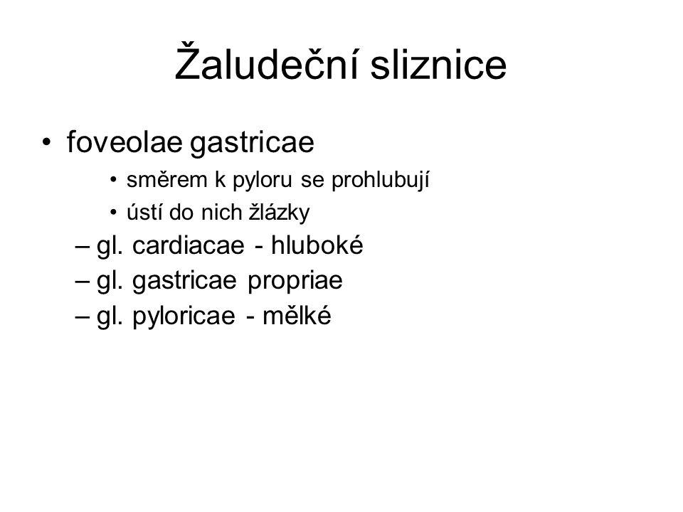 Žaludeční sliznice foveolae gastricae gl. cardiacae - hluboké