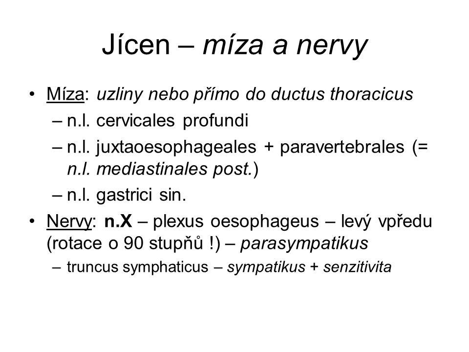 Jícen – míza a nervy Míza: uzliny nebo přímo do ductus thoracicus