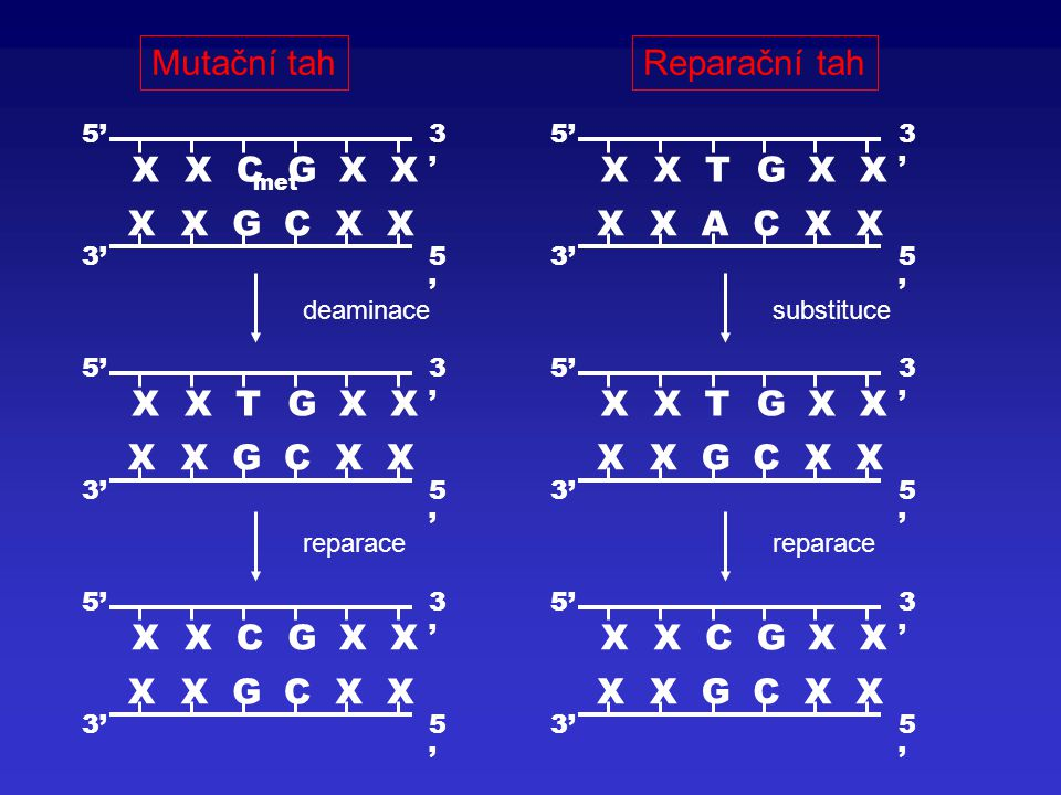 Mutační tah Reparační tah X C G T A 5' 3' reparace deaminace