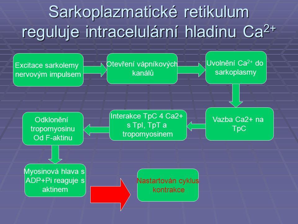 Sarkoplazmatické retikulum reguluje intracelulární hladinu Ca2+