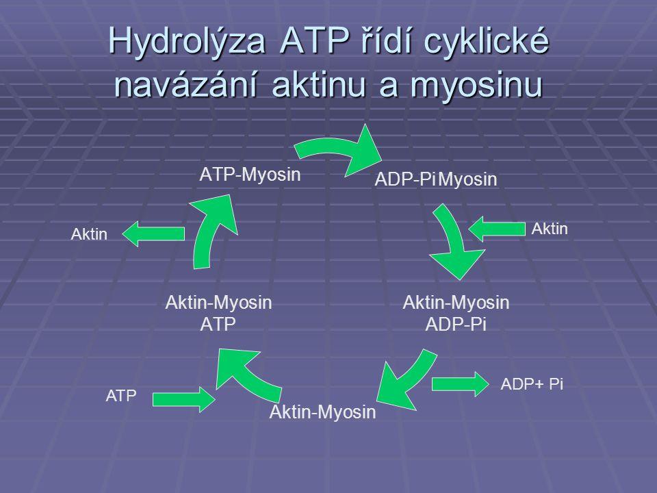 Hydrolýza ATP řídí cyklické navázání aktinu a myosinu